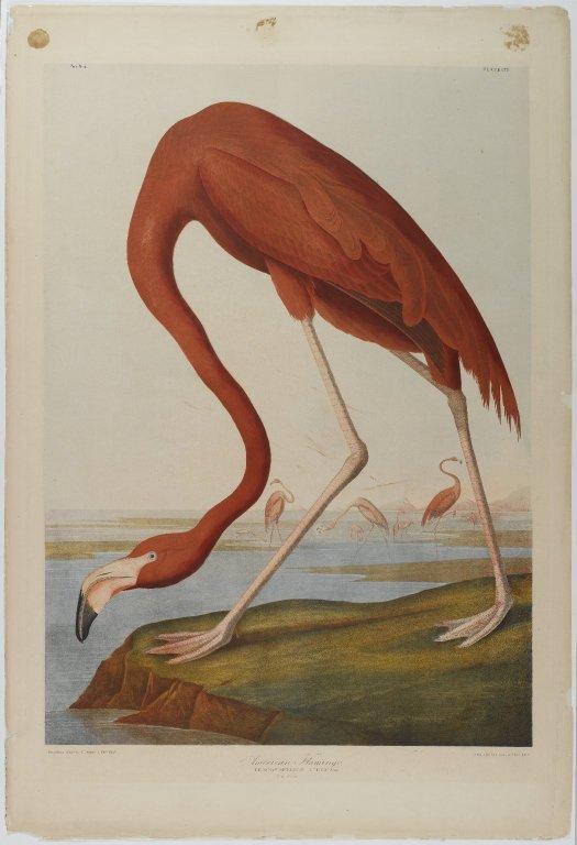 Brooklyn_Museum_-_American_Flamingo_-_John_J._Audubon