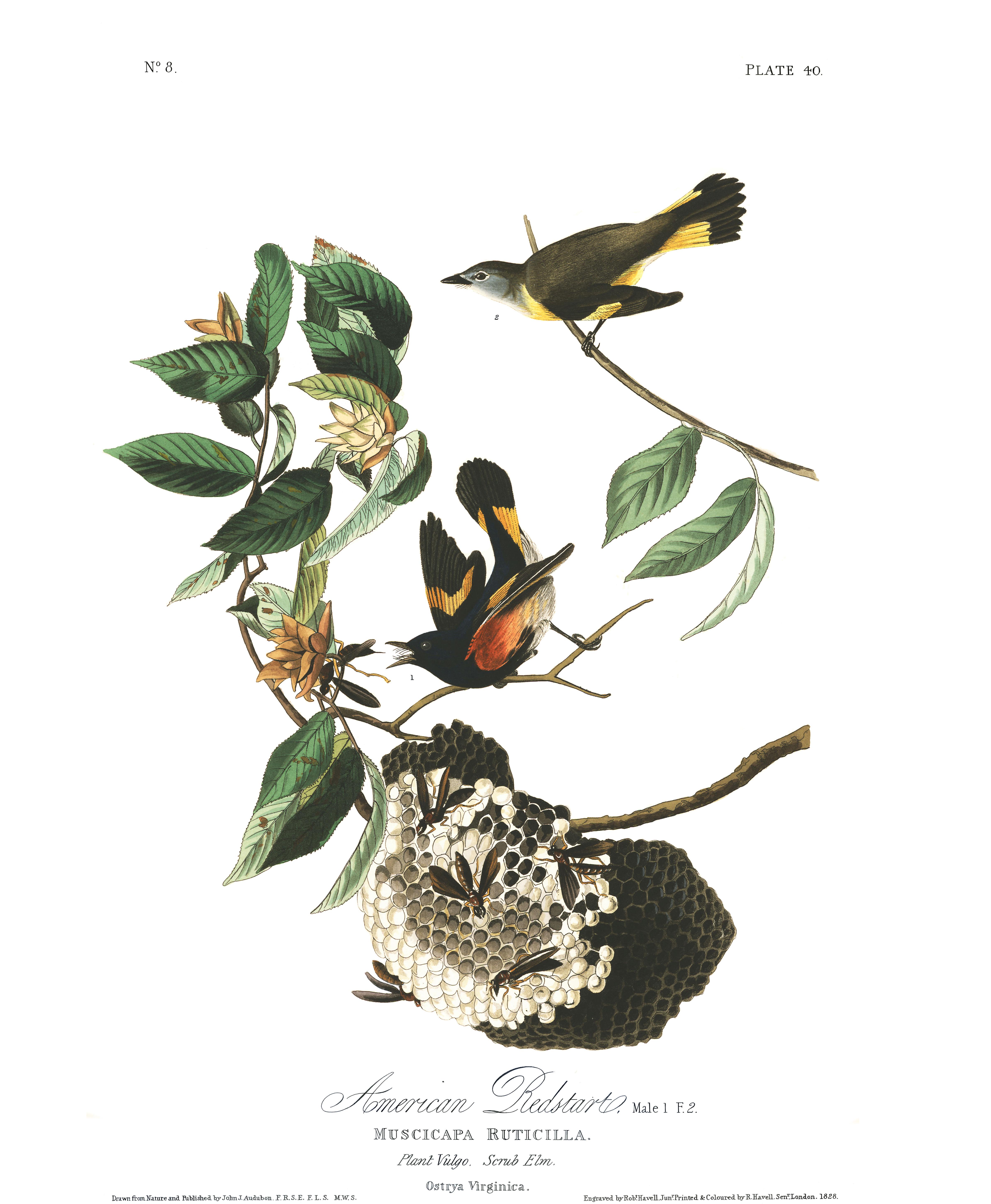 J. J. Audubon – Plate 40 – American Redstart