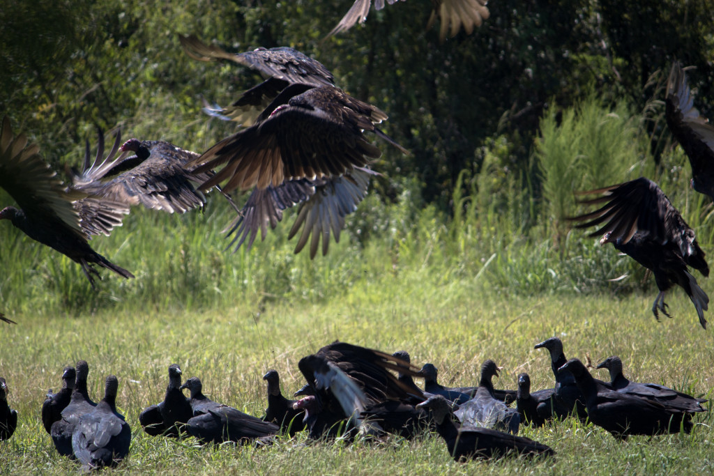 Vultures at Birds of Prey Center (Awendaw, SC). Photo Jessica Stewart