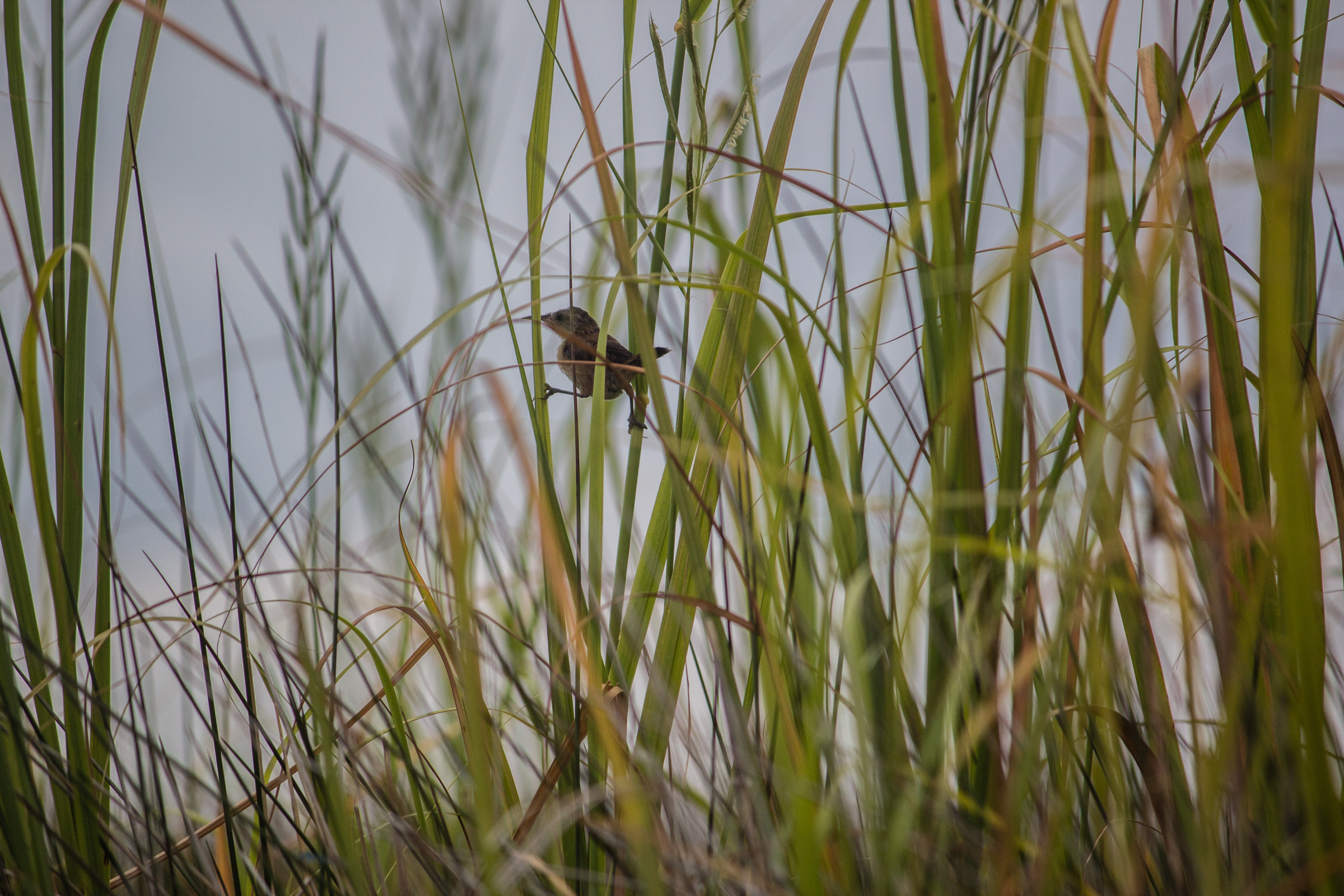 Marsh wren at Pine Island. Photo Jessica Stewart.