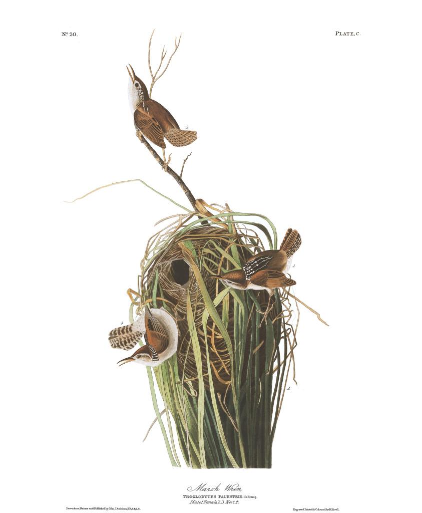 plate-100-marsh-wren-final
