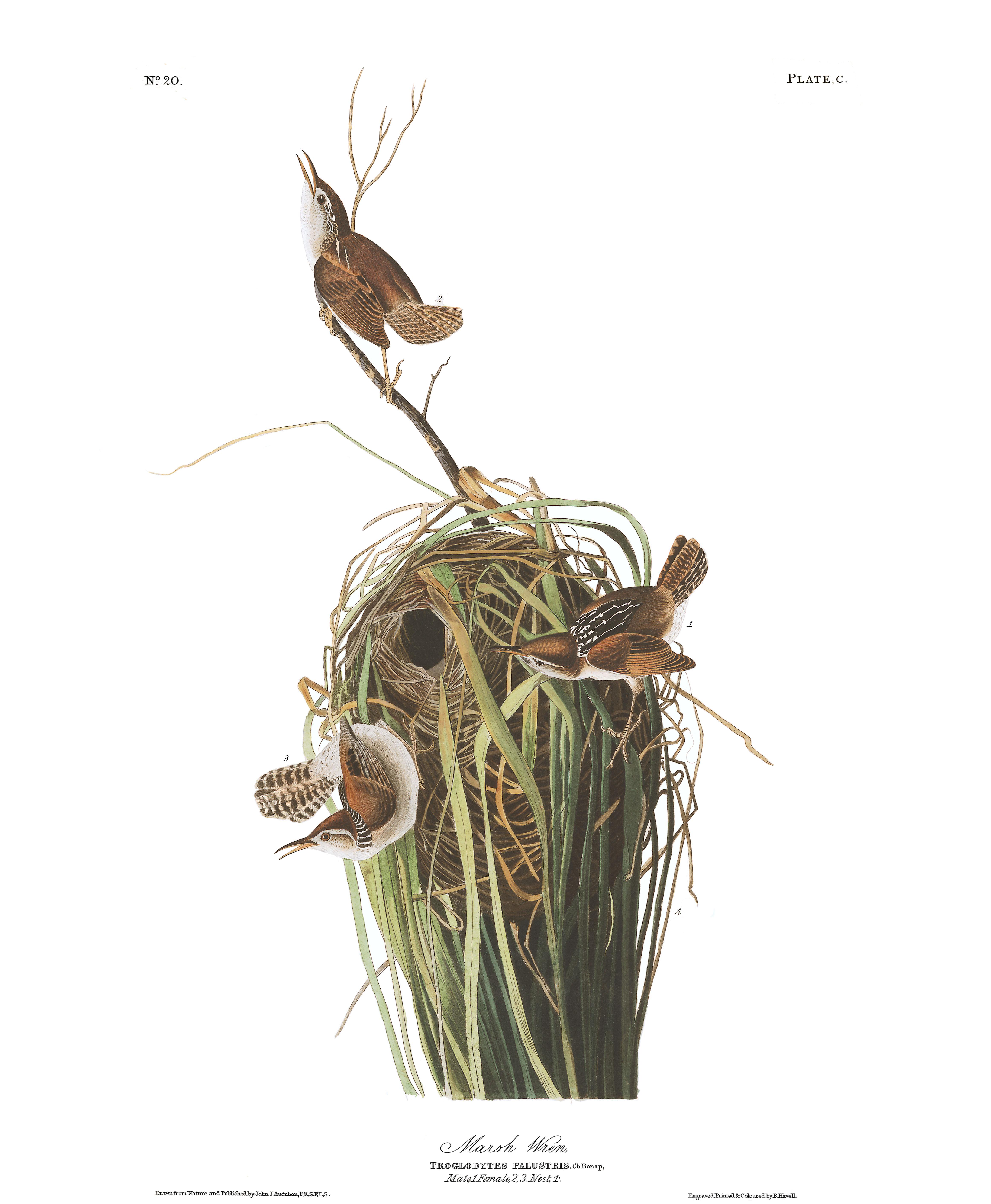 J.J. Audubon – Plate 100 – Marsh Wren