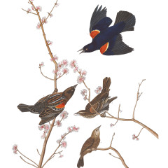 J.J. Audubon – Plate 67. Red-winged Starling, or Marsh Blackbird (Red-winged Blackbird)