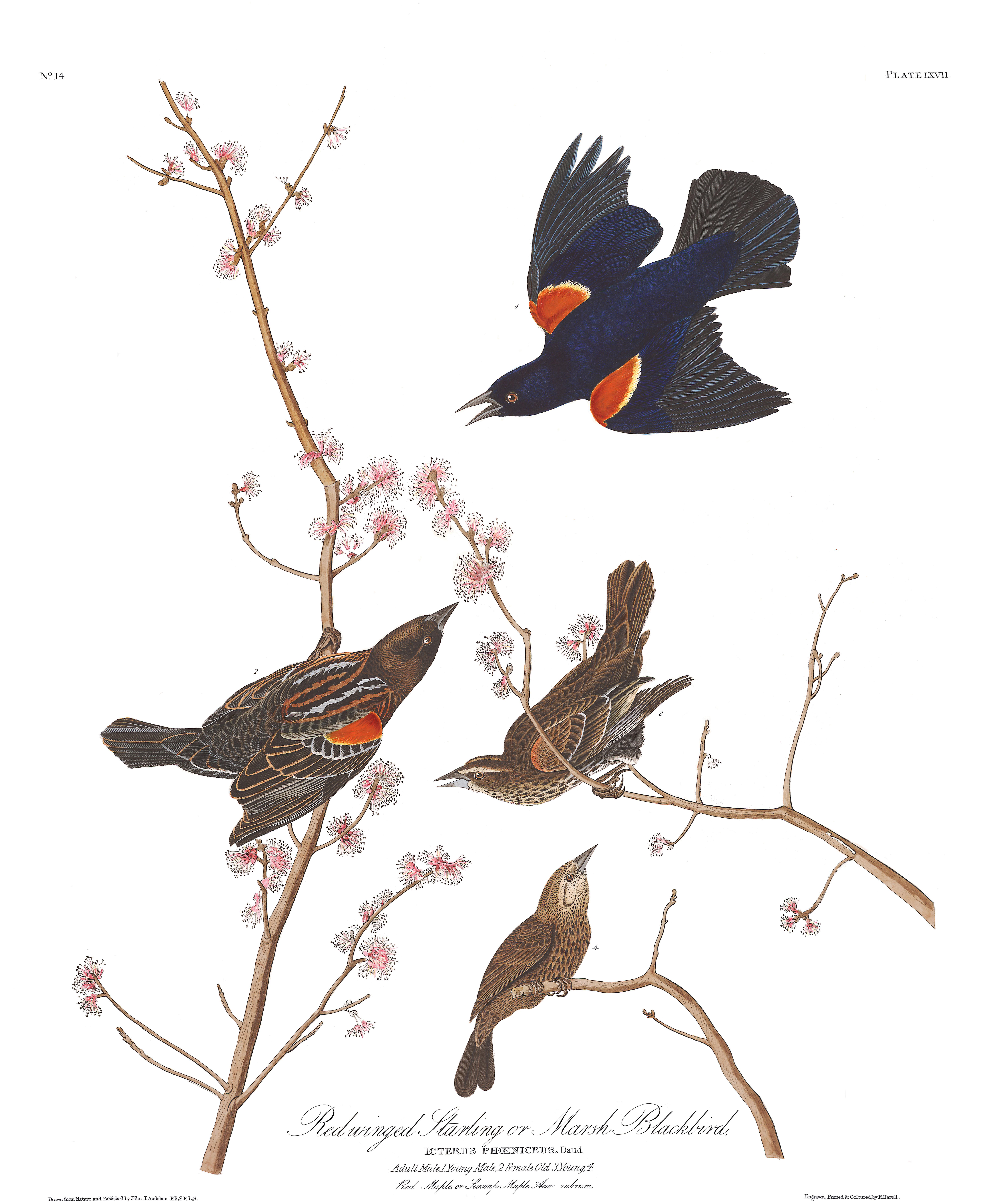 J.J. Audubon – Plate 67. Red-winged Starling, or Marsh Blackbird (Red-winged Blackbird)
