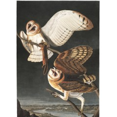 J. J. Audubon – Plate 171 – Barn Owl