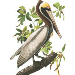 J.J. Audubon – Plate 251 – Brown Pelican