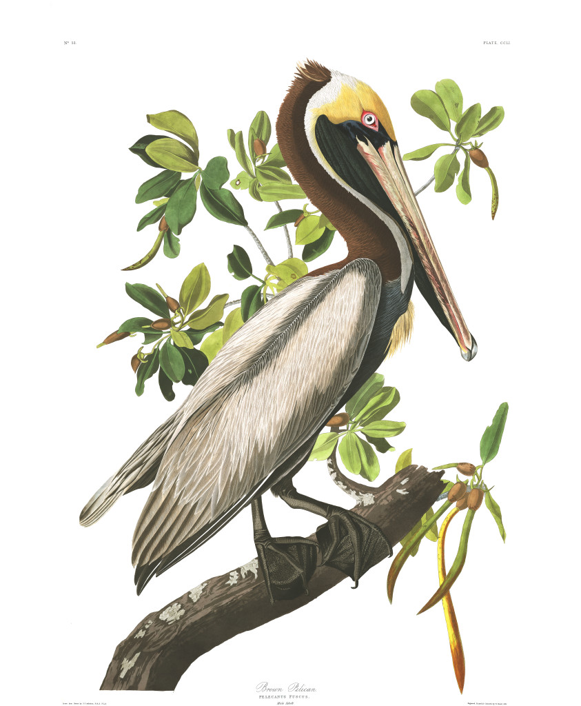 Plate-251,-Brown-Pelican-final