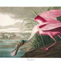 J. J. Audubon – Plate 321 – Roseate Spoonbill