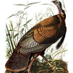 J. J. Audubon – Plate 1 – Wild Turkey