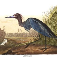 J. J. Audubon – Plates 211 & 305 – Herons