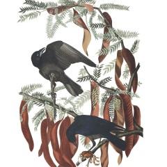 J.J. Audubon – Plate 146 – Fish Crow
