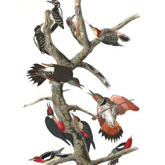 J. J. Audubon – Plate 416 – Woodpeckers