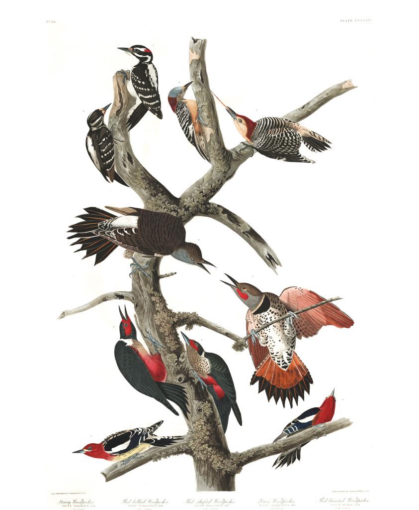 plate-416-hairy-woodpecker