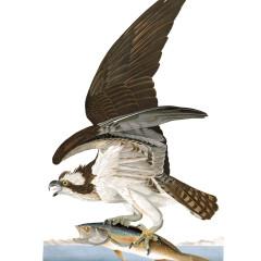 J. J. Audubon – Plate 81 – Osprey