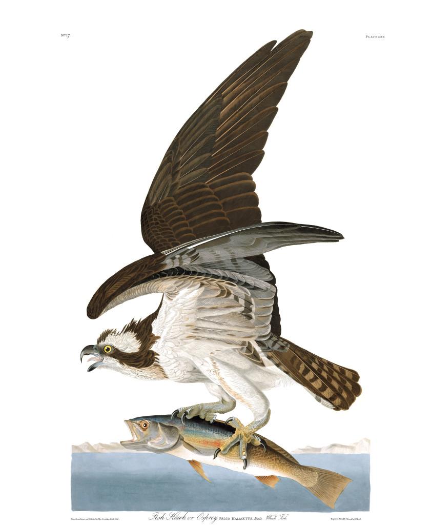 plate-81-osprey-final